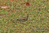 Red-throated Pipit a1914.jpg
