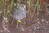 Pin-tailed Snipe a058.jpg