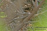 Middendorff's Warbler a0829.jpg
