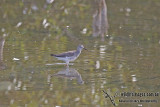 Lesser Yellowlegs a3448.jpg