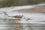 Lesser Yellowlegs a3537.jpg