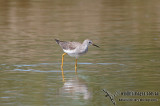 Lesser Yellowlegs (Australian vagrant)