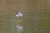 Lesser Yellowlegs a3816.jpg