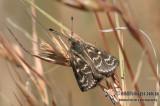 Golden Sun Moth - Synemon plana