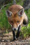 Red Fox 5993