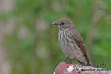 Grey-streaked Flycatcher - Muscicapa griseisticta