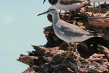 Grey-tailed Tattler a5790.jpg