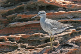 Grey-tailed Tattler a5812.jpg