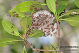 Paper Wasp a4766.jpg
