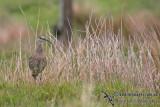 Eurasian Curlew a8516.jpg