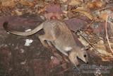 Wilkins' Rock-wallaby
