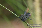 Iridescent Flutterer - Rhyothemis braganza