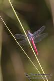 Rosy Skimmer - Orthetrum migratum