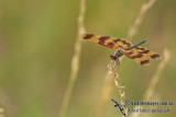 Graphic Flutterer - Rhyothemis graphiptera