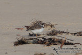 Semipalmated Plover 1497.jpg