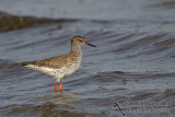 Common Redshank a0190.jpg
