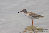 Common Redshank a7748.jpg