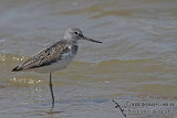 Common Greenshank a8019.jpg