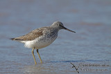 Common Greenshank a8987.jpg