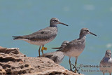 Grey-tailed Tattler a5285.jpg