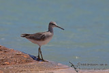Grey-tailed Tattler a5300.jpg