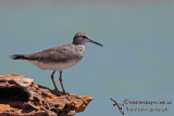 Grey-tailed Tattler a5316.jpg