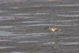 Eurasian Curlew a7126.jpg