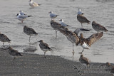 Eurasian Curlew a7153.jpg