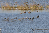 Spotted Redshank a8137.jpg