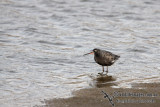 Spotted Redshank a8549.jpg