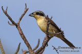 Tiger Shrike 7796.jpg