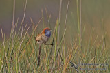 Emu-wrens