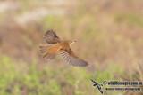 Oriental Reed Warbler 2727.jpg