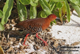Red-legged Crake 0498.jpg