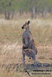 Antilopine Wallaroo