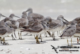Grey-tailed Tattler 9083.jpg