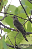Indian Cuckoo 9623.jpg
