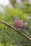 Red Collared Dove 3132.jpg