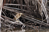 Yellow Bittern 2765.jpg