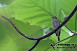 Asian Brown Flycatcher a8786.jpg