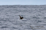 South Polar Skua 6080.jpg