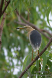 Javan Pond Heron 4124.jpg
