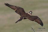 Brown Falcon 3100