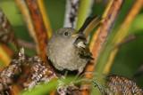 Stitchbird (Hihi)