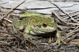 Spot-thighed Frog - Litoria cyclorhyncha 1135