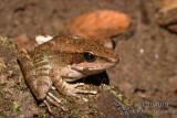 True Frogs - Rana dameli (Wood Frog)