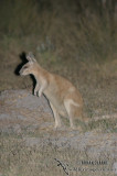Northern Nailtail Wallaby 9025.jpg