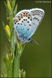 Heideblauwtje 2