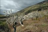 Kersenboomgaard Spanje