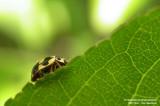 Veertienstippelig Lieveheersbeestje